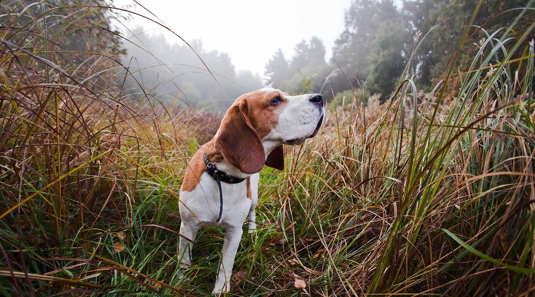 Victorian-Hound-Hunters_VHH_beagles_hunting